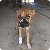 Adopt A Pet :: It's Bitsy - Austin, TX