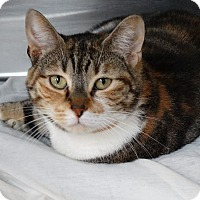 Calico Cat for adoption in Bloomfield, New Jersey - FRANCES