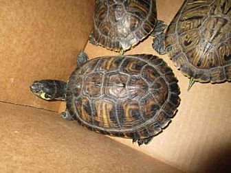 Turtle - Other for adoption in Burbank, California - A069507