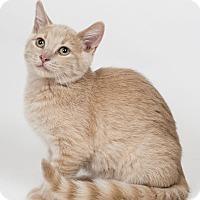 Adopt A Pet :: Nigel - Lombard, IL