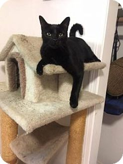 Domestic Shorthair Cat for adoption in Anchorage, Alaska - Slinky
