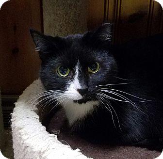 Domestic Shorthair Cat for adoption in Jeannette, Pennsylvania - Sophie