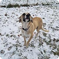 Adopt A Pet :: Zena the Warrior Princess - St Louis, MO