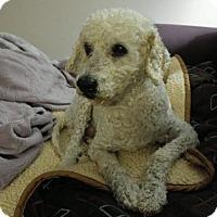 Adopt A Pet :: Milton - Sweet Senior Poodle - Seattle, WA