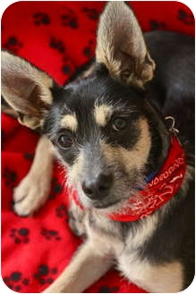 Terrier (Unknown Type, Small)/German Shepherd Dog Mix Dog for adoption in san diego, California - SCAMP !!