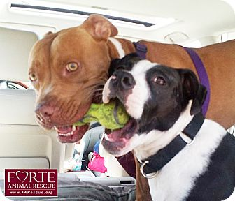 Rhodesian Ridgeback/American Staffordshire Terrier Mix Dog for adoption in Marina del Rey, California - Major