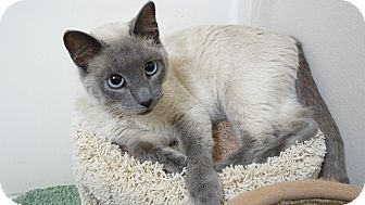 Siamese Cat for adoption in Bentonville, Arkansas - Samantha