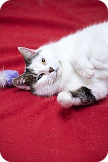 Domestic Shorthair Cat for adoption in Chicago, Illinois - Lulu