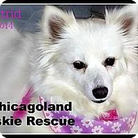 Adopt A Pet :: Astrid - Elmhurst, IL