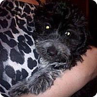 Adopt A Pet :: Muffins - Hazard, KY