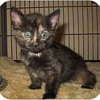 Adopt A Pet :: Coquette - Shelton, WA