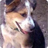 Adopt A Pet :: Colby - dewey, AZ