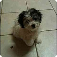 Adopt A Pet :: Scarlett - Arlington, TX