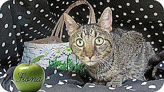 Domestic Mediumhair Cat for adoption in Sherman Oaks, California - Fiona