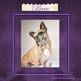 French Bulldog Dog for adoption in Alabaster, Alabama - Bree