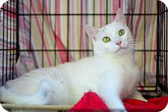 Domestic Shorthair Cat for adoption in Queens, New York - Sebastian Winter