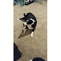 Adopt A Pet :: Mojo - Tempe, AZ