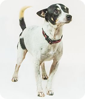 Jack Russell Terrier Mix Dog for adoption in Yelm, Washington - Moses