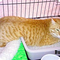 Adopt A Pet :: Buddy - Fullerton, CA