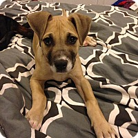 Adopt A Pet :: Little Charlie - Charlotte, NC