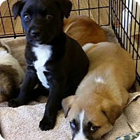 Adopt A Pet :: Jelly Bean - St. Charles, MO