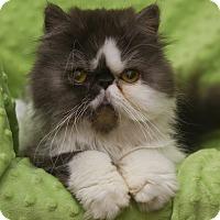 Adopt A Pet :: Fendi aka Foo Foo - Columbus, OH