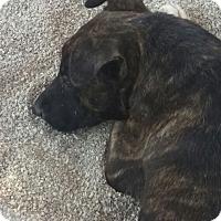 Adopt A Pet :: Deidra - Las Vegas, NV