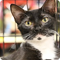 Adopt A Pet :: Tuxie - Gainesville, VA