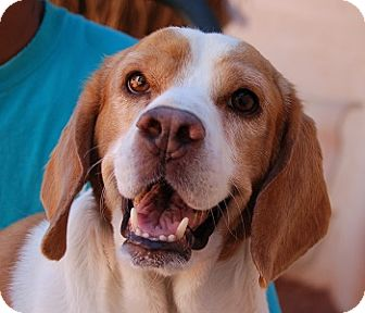 Beagle Mix Dog for adoption in Las Vegas, Nevada - Rebel