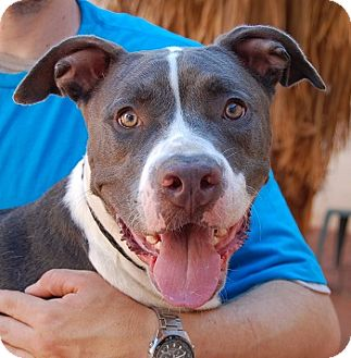 American Staffordshire Terrier/American Pit Bull Terrier Mix Dog for adoption in Las Vegas, Nevada - Renee