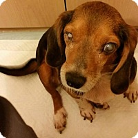 Beagle Mix Dog for adoption in Providence, Rhode Island - Callie In KY - VET HOLD