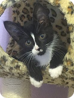 Domestic Shorthair Kitten for adoption in Tampa, Florida - Daisy-Dukes