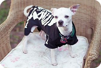 Chihuahua/Boston Terrier Mix Dog for adoption in Tallahassee, Florida - Sully