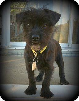 Scottie, Scottish Terrier/Terrier (Unknown Type, Medium) Mix Dog for adoption in Imperial Beach, California - Tevis