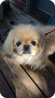 Pekingese Mix Dog for adoption in Inver Grove, Minnesota - Bailey