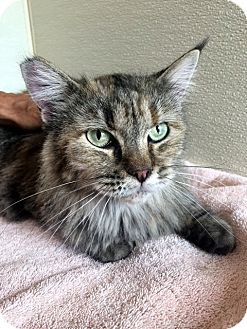 Maine Coon Cat for adoption in North Las Vegas, Nevada - Dolly