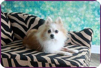 Pomeranian Dog for adoption in Dallas, Texas - Abbie Sue