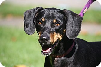 Dachshund/Beagle Mix Dog for adoption in West Milford, New Jersey - LOKI- pending