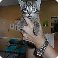Domestic Mediumhair Kitten for adoption in Louisville, Kentucky - OSCAR