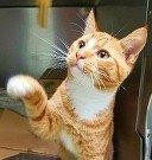 Domestic Shorthair Cat for adoption in Hampton, Virginia - MORIS