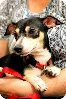 Chihuahua Mix Dog for adoption in Toledo, Ohio - Fritzi