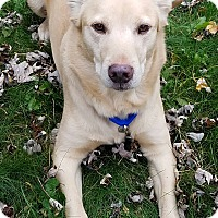 Labrador Retriever/Corgi Mix Dog for adoption in Palatine, Illinois - Luke