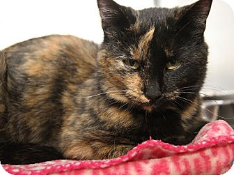 Domestic Shorthair Cat for adoption in Marietta, Ohio - Fiona (Spayed)
