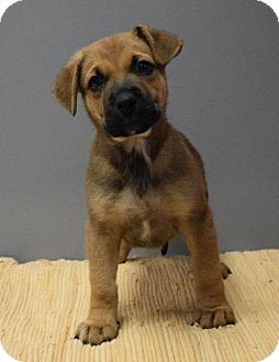 Terrier (Unknown Type, Medium) Mix Puppy for adoption in Valparaiso, Indiana - Plymouth