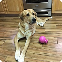 Adopt A Pet :: Ragnar - Austin, TX