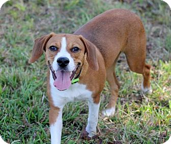 Beagle Mix Dog for adoption in New Smyrna beach, Florida - Harry