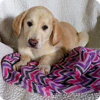 Adopt A Pet :: Allie (MD-Kelly) - Newark, DE