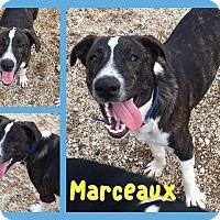 Adopt A Pet :: Marceaux - Ringwood, NJ
