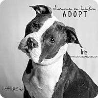Adopt A Pet :: Iris - Catasauqua, PA