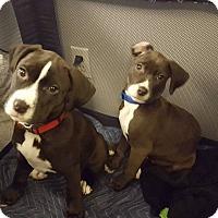 Adopt A Pet :: Ryder - Baltimore, MD